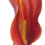 coral-orange-lily