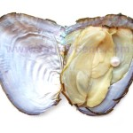 oyster growth pearl